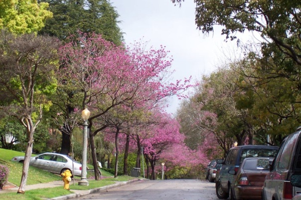 Tree_-_lined_street_flowering